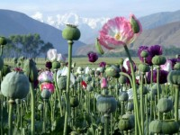 Poppy Crop Destruction Drives Farmers Towards Taliban